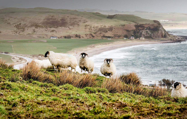 Wallpaper Sea Landscape Sheep Scotland Scottish