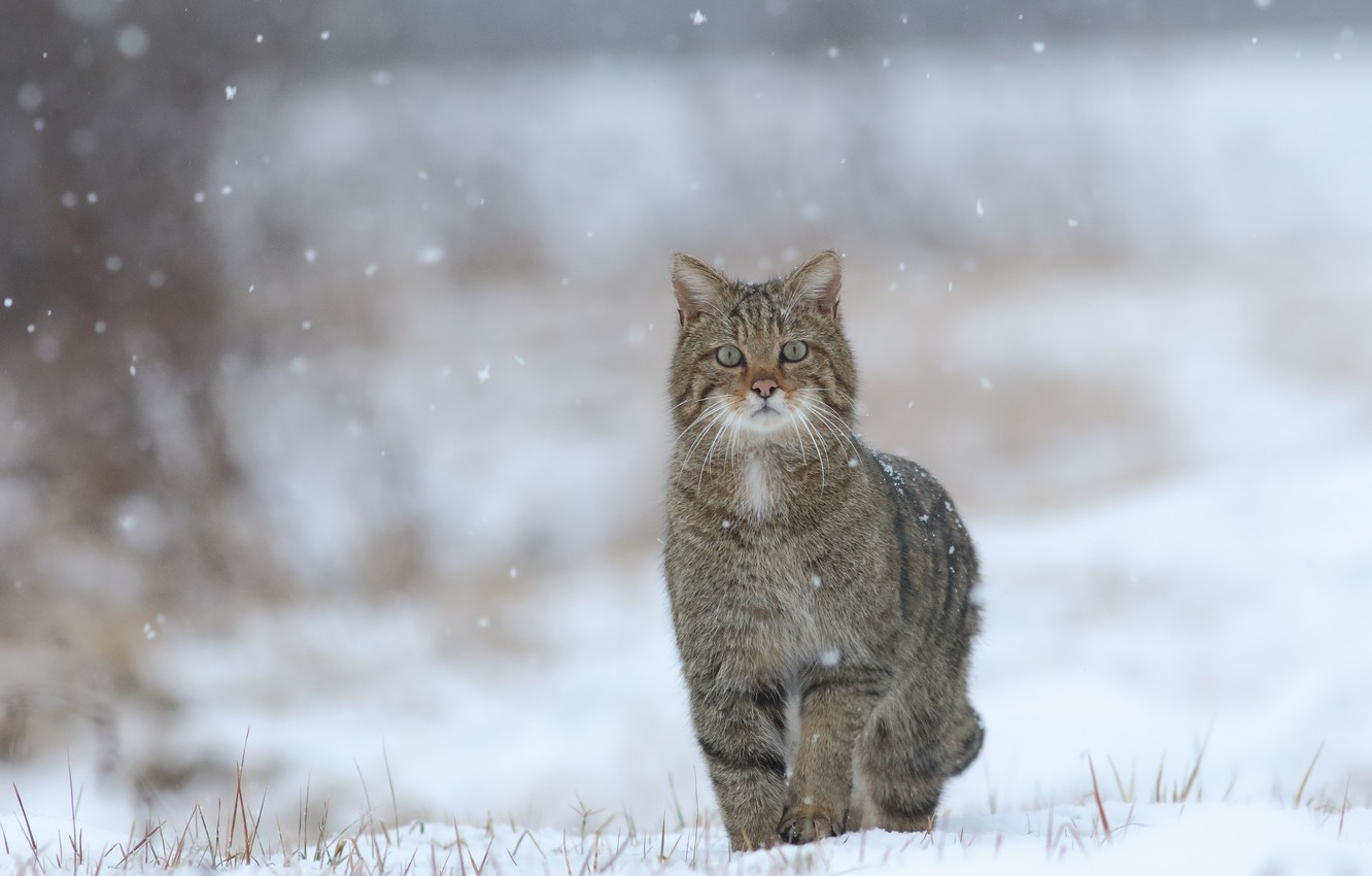 Photo wallpaper winter, snow, wild cat, bokeh, forest cat