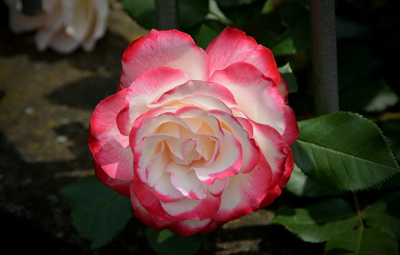 Photo wallpaper Rose, Rose, Bokeh, Bokeh