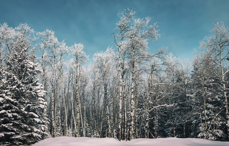 Photo wallpaper winter, forest, birch