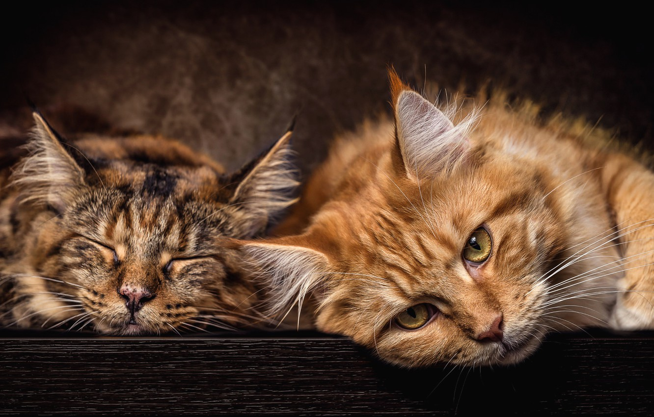 Photo wallpaper cat, cats, the dark background, grey, stay, cats, portrait, red, pair, two, muzzle, lie, Maine …