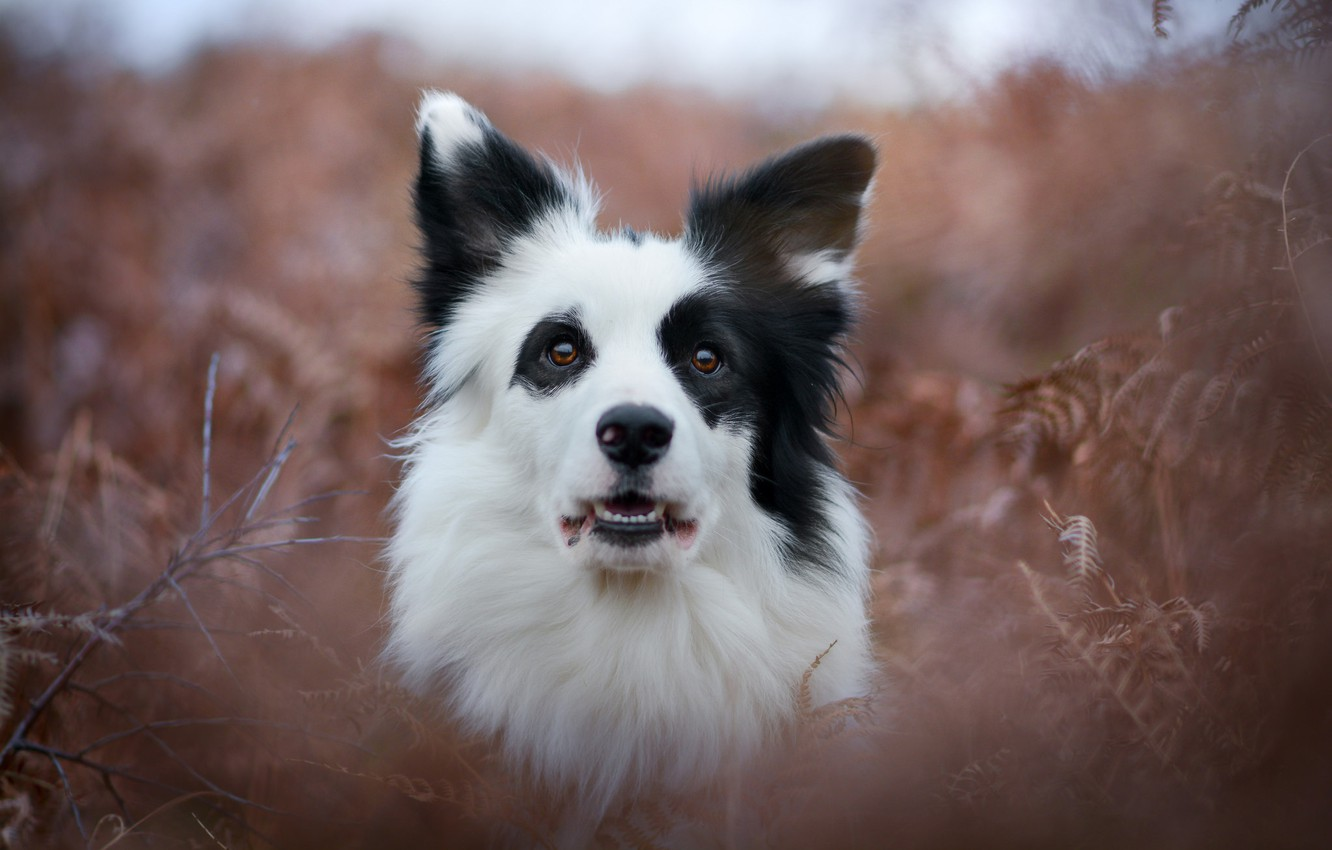 Photo wallpaper look, face, dog, fern, bokeh, The border collie
