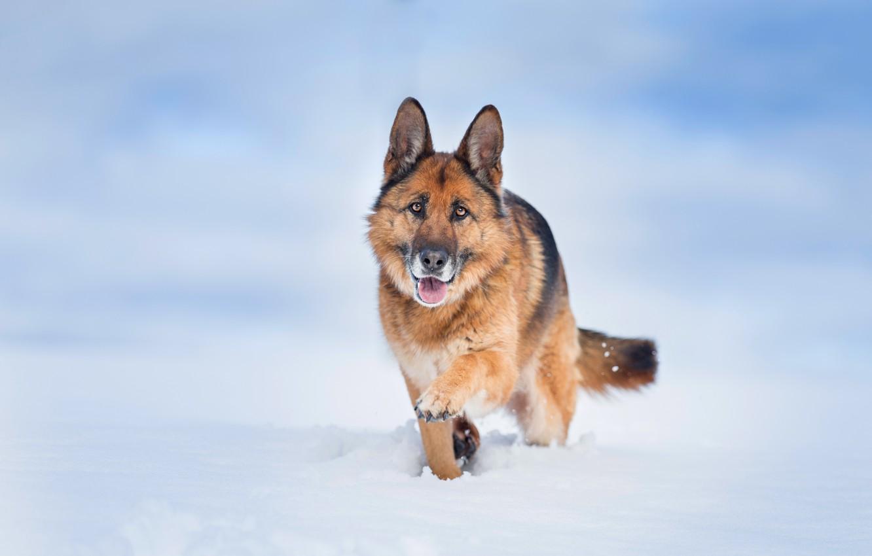 Photo wallpaper snow, background, dog, German shepherd