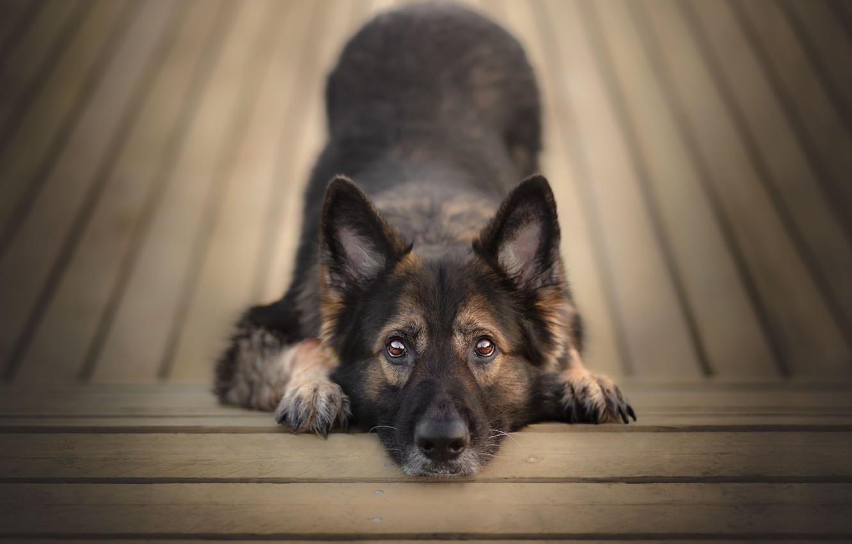 Photo wallpaper look, face, Board, dog, ears, German shepherd
