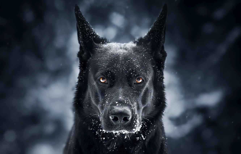 Photo wallpaper look, face, snow, background, dog, German shepherd