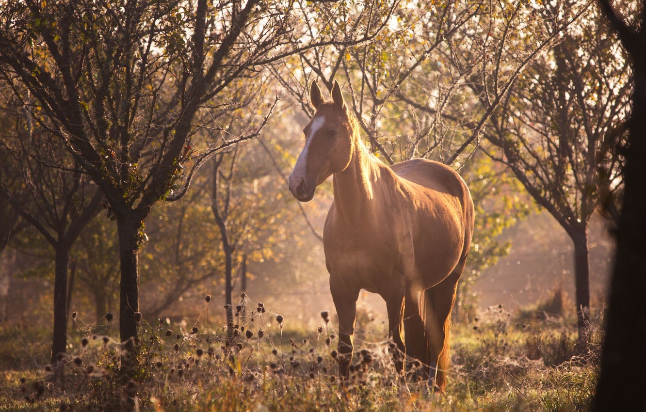 Photo wallpaper forest, the sun, light, glare, horse, horse, web, blur, morning, red