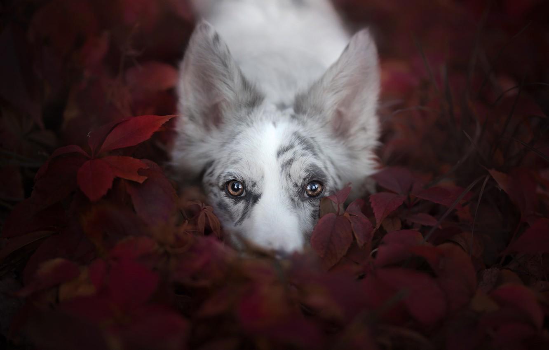 Photo wallpaper look, face, leaves, dog, Australian shepherd, Aussie