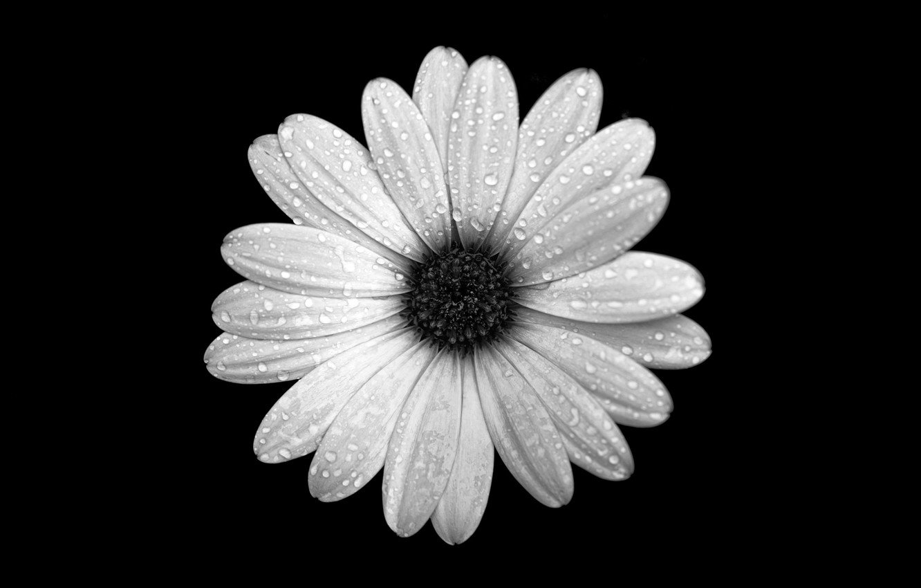 Photo wallpaper flower, drops, Rosa, background, petals, Osteospermum