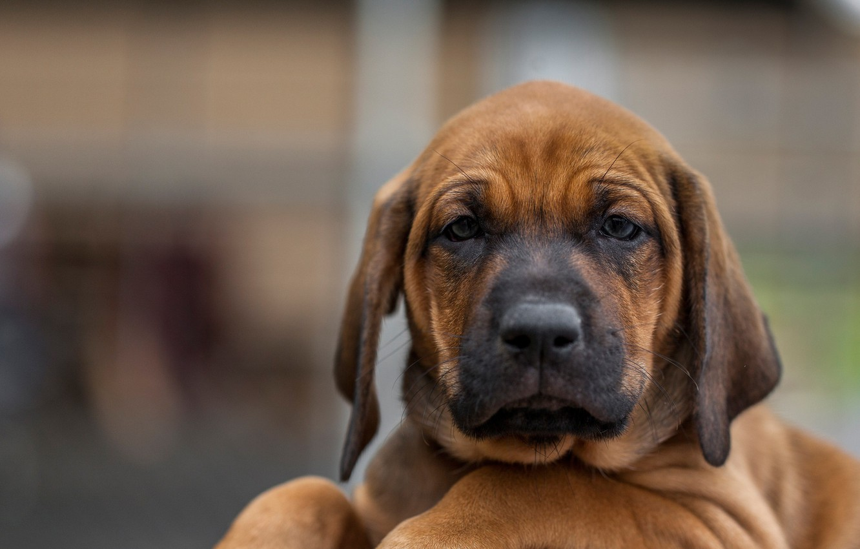 Photo wallpaper look, face, background, dog, puppy, Rhodesian Ridgeback
