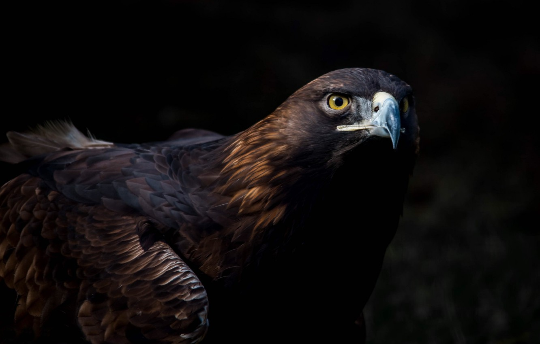 Photo wallpaper look, birds, predator, beak, eagle, tail, the dark background, Golden eagle