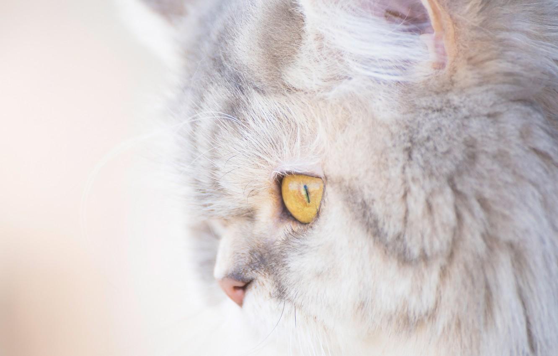 Photo wallpaper cat, cat, portrait, muzzle, profile