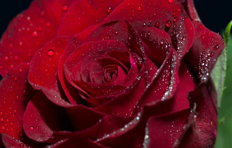 Photo wallpaper flower, drops, macro, rose, Bud, flowers, roses, buds