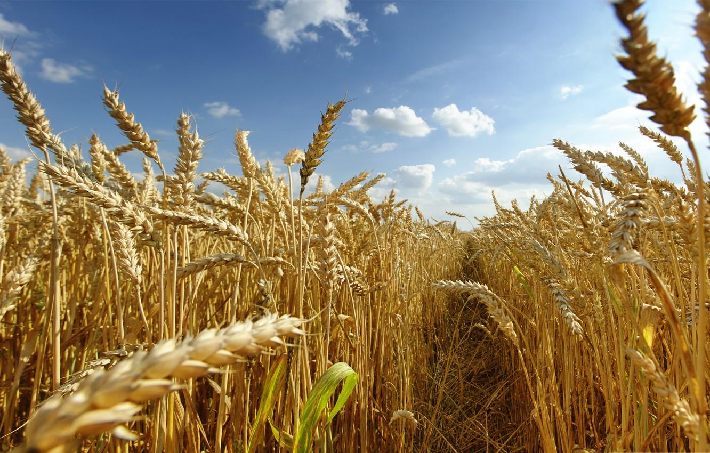 Photo wallpaper wheat, field, the sky, harvest