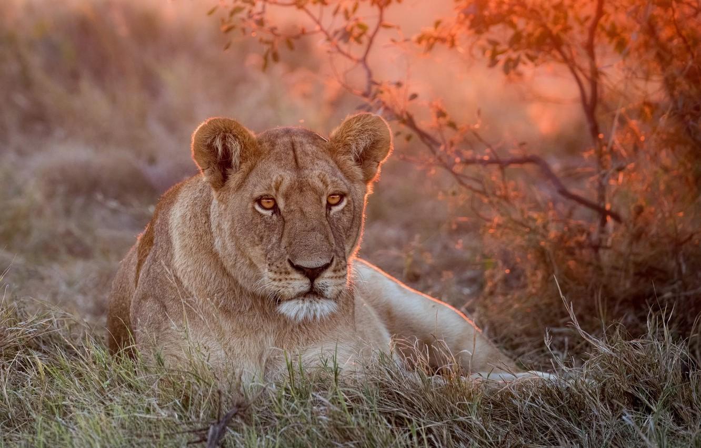 Photo wallpaper green, Leo, grass, lioness, nature, sunset, lion, lioness, rest, a lion or a lioness