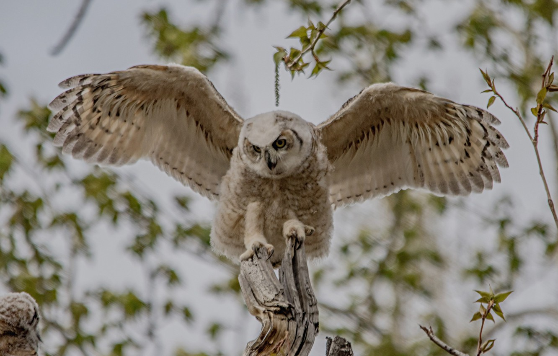 Photo wallpaper owl, bird, wings, chick, bokeh, Virgin Filin, young
