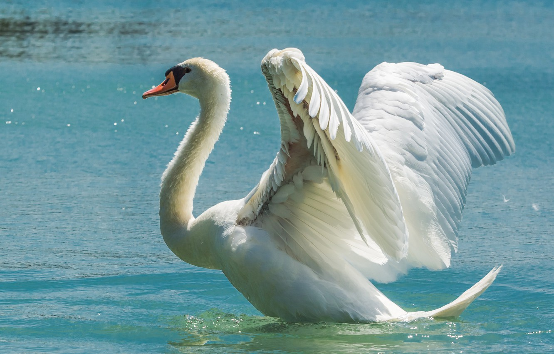 Photo wallpaper water, bird, wings, Swan, the scope