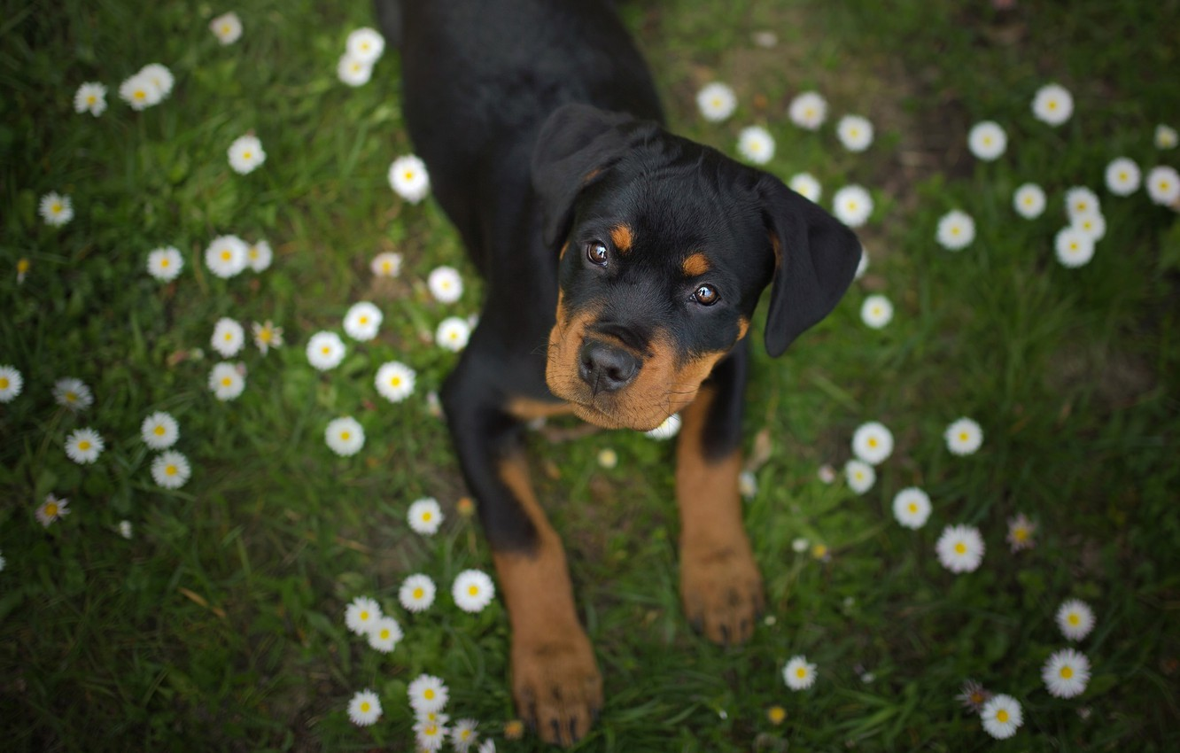 Photo wallpaper look, flowers, dog, Rottweiler, puppy, face, Daisy