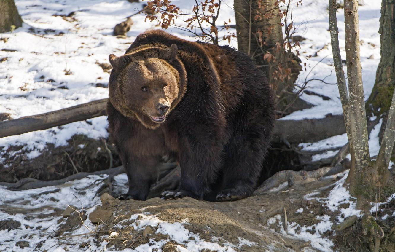 Photo wallpaper predator, bear, large, brown