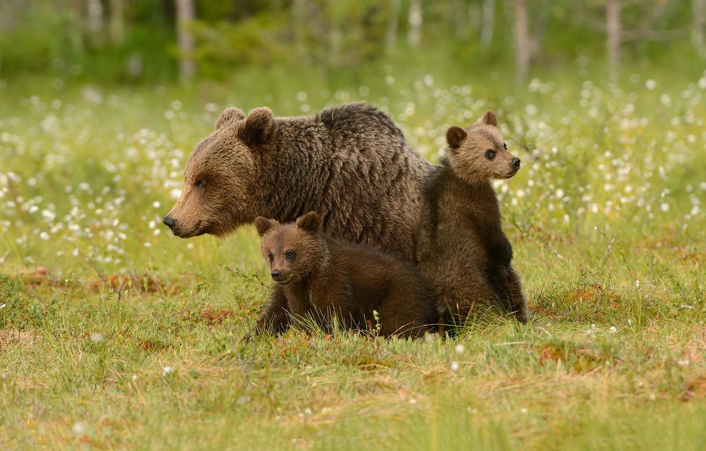 Photo wallpaper grass, bears, bears, bokeh, cubs, bear