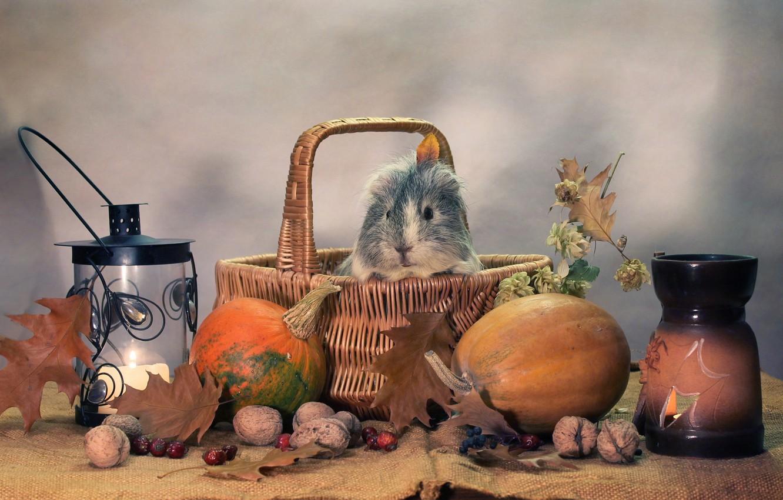 Photo wallpaper autumn, animals, humor, candles, October, pumpkin, Halloween, composition, Guinea pigs