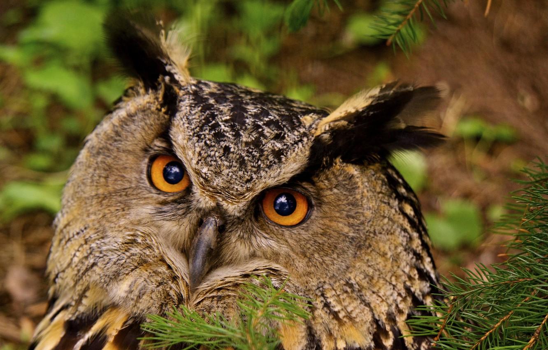 Photo wallpaper eyes, birds, photo, owl, owl, fauna, Finland