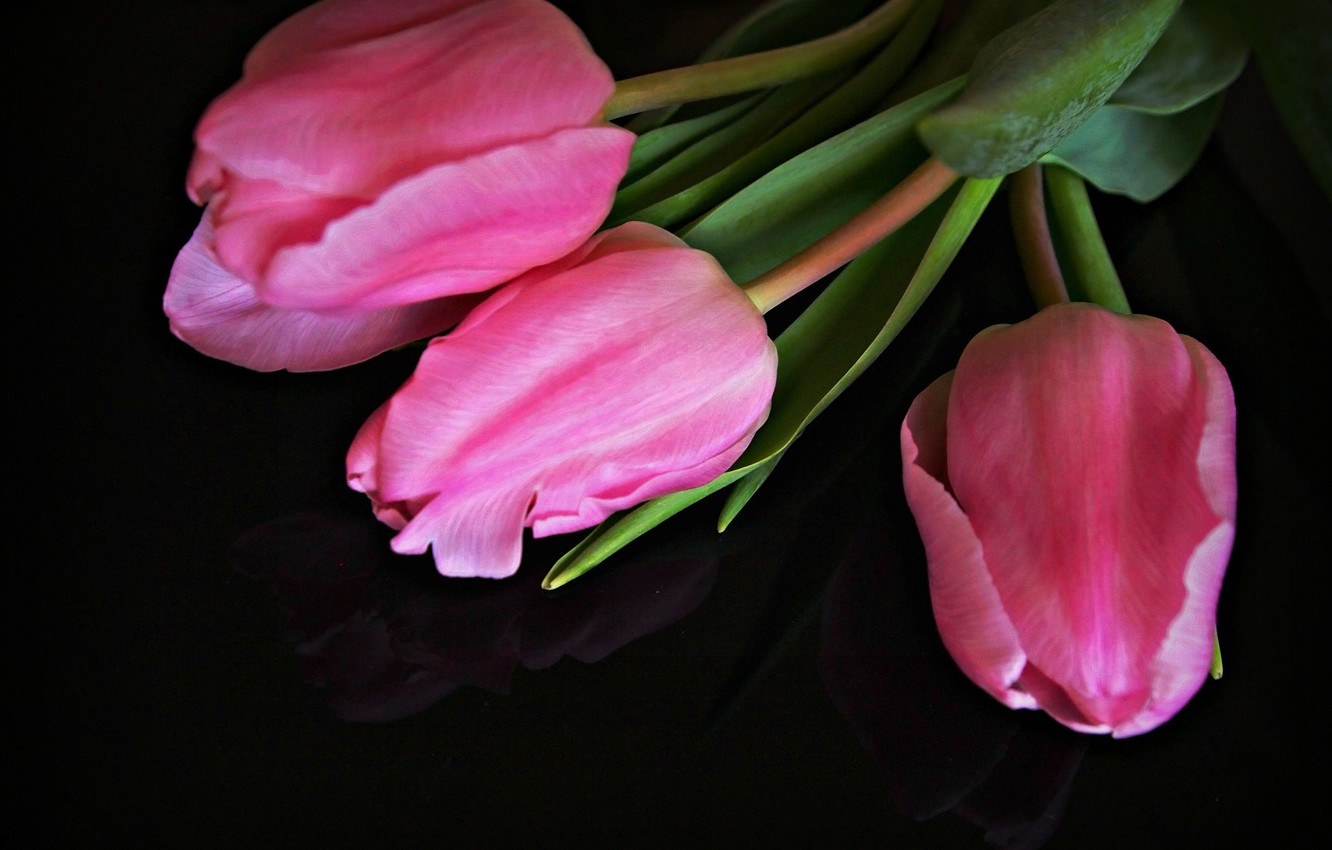 Photo wallpaper tulips, pink, buds, black background