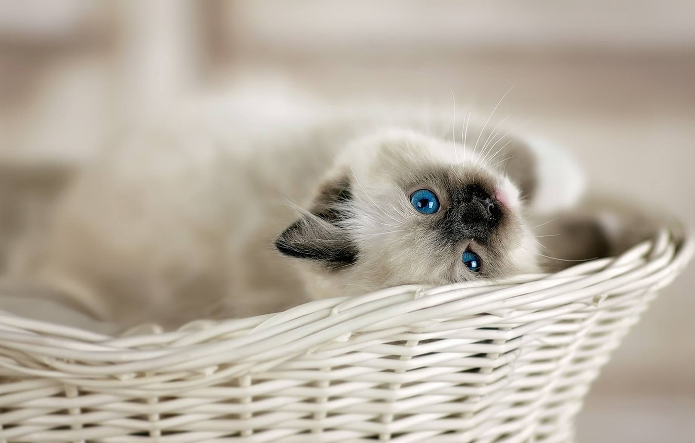 Photo wallpaper look, basket, baby, kitty, blue eyes, bokeh, Ragdoll