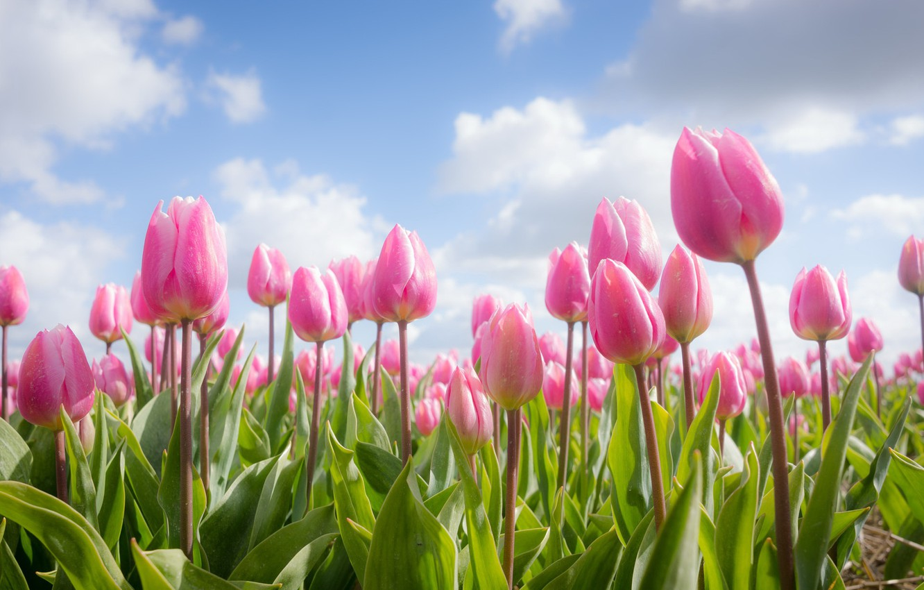 Photo wallpaper flowers, spring, tulips