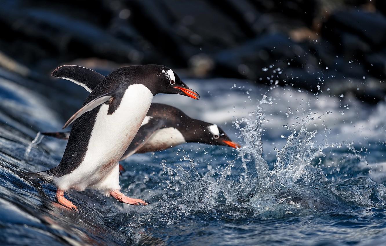 Photo wallpaper water, squirt, penguins