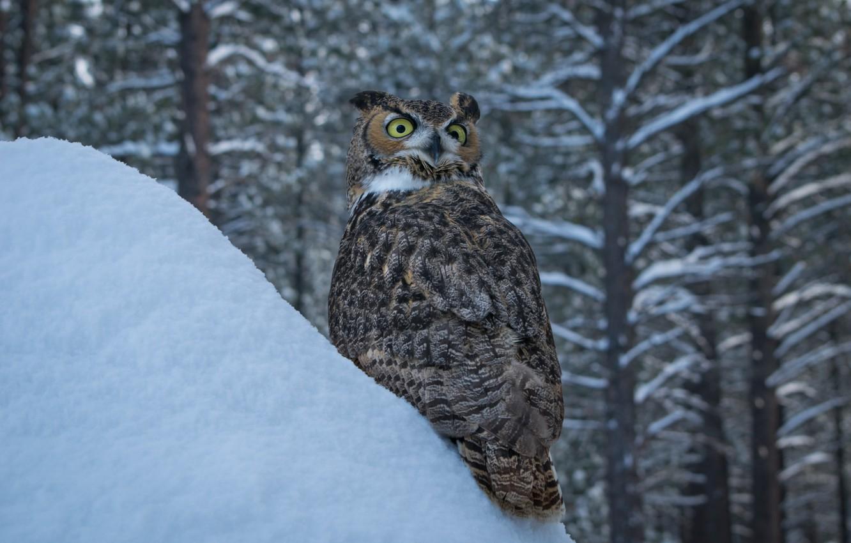 Photo wallpaper winter, snow, trees, owl, bird, the snow, Virgin Filin