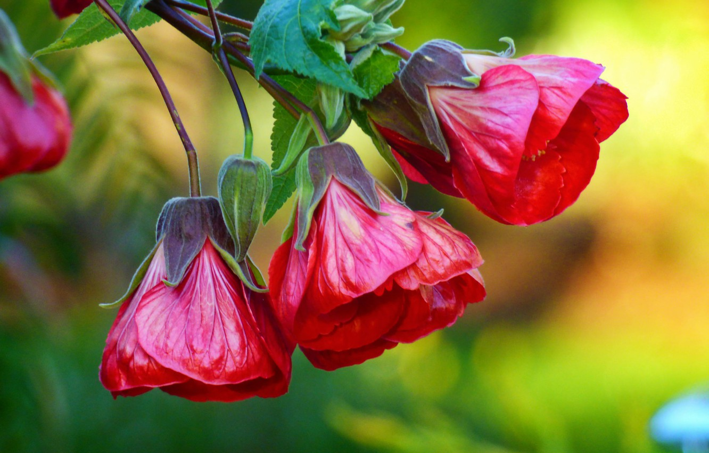 Photo wallpaper flower, red, branch, buds, Chinese Lantern