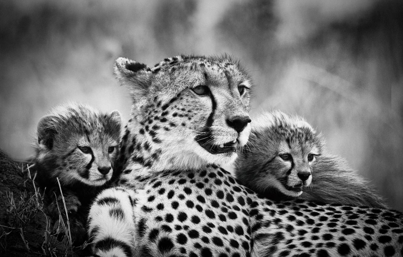 Photo wallpaper mom, cubs, cheetahs, black and white photo