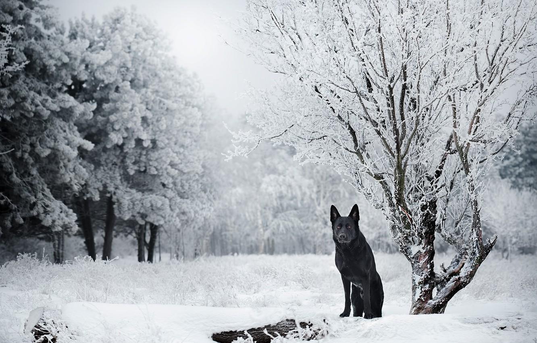 Photo wallpaper winter, snow, trees, nature, dog, German shepherd