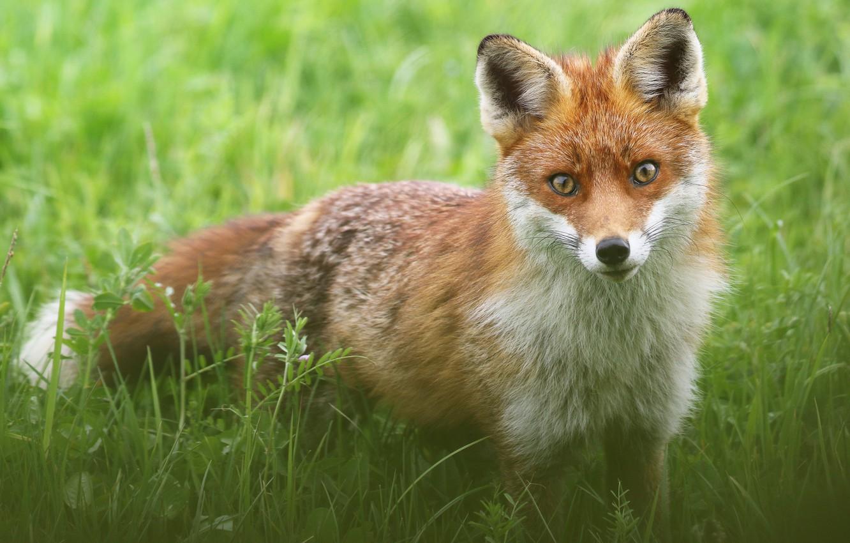 Photo wallpaper greens, grass, look, glade, Fox, wildlife, Fox