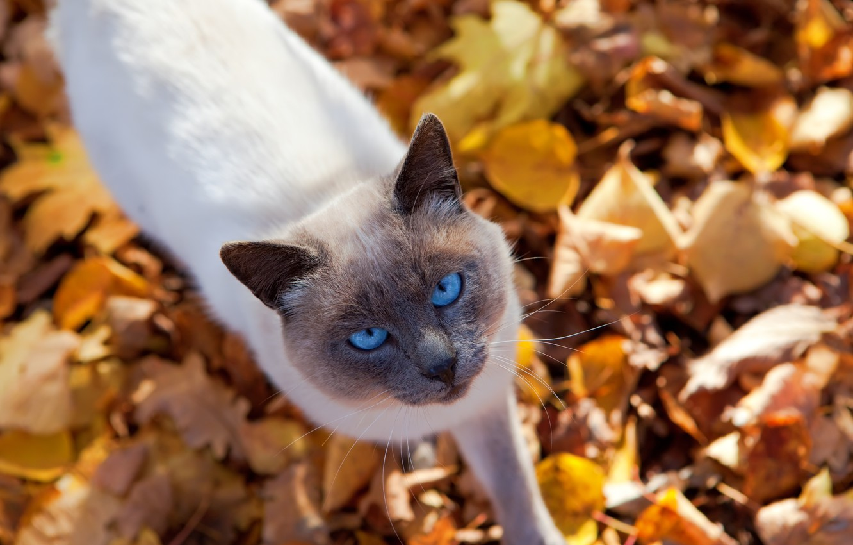 Photo wallpaper autumn, cat, look, leaves, nature, animal, cat