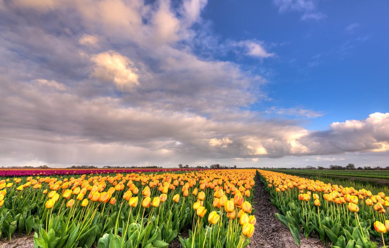 Photo wallpaper field, clouds, landscape, flowers, nature, tulips