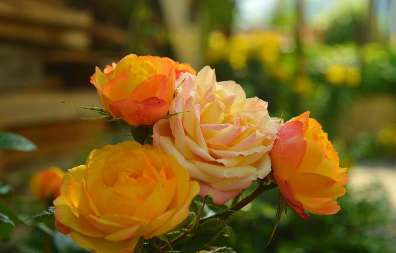 Photo wallpaper Roses, Roses, Bokeh