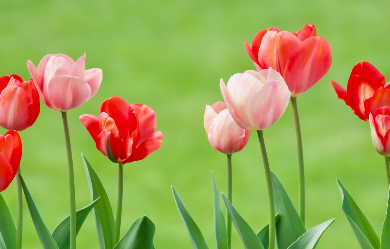 Photo wallpaper background, tulips, buds