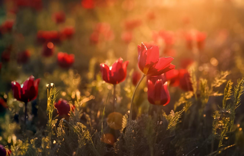 Photo wallpaper light, flowers, spring, bokeh, Kalmykia, wild tulips