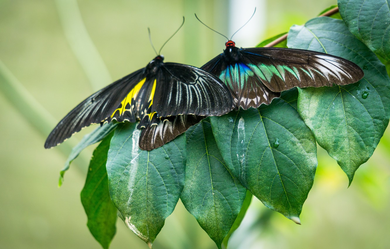 Photo wallpaper green, black, nature, yellow, butterfly, leaves, macro, butterflies, highland, malaysia, cameron, cameron highland