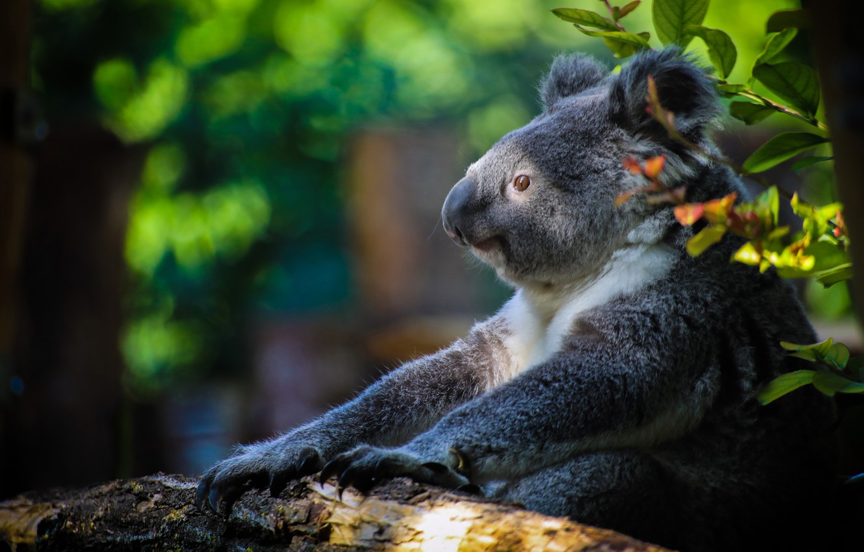 Photo wallpaper bear, Koala, Marsupials bear