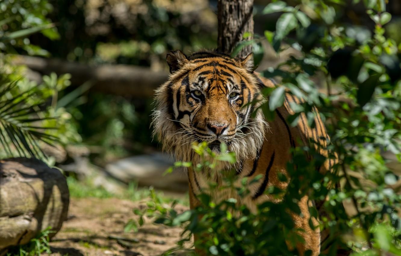 Photo wallpaper tiger, zoo, Portugal, Lisbon