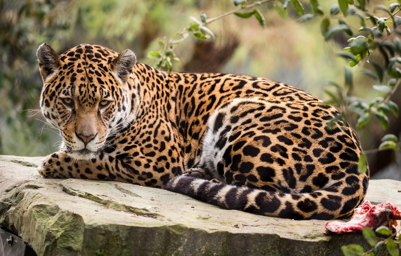 Photo wallpaper nature, animal, stay, Jaguar