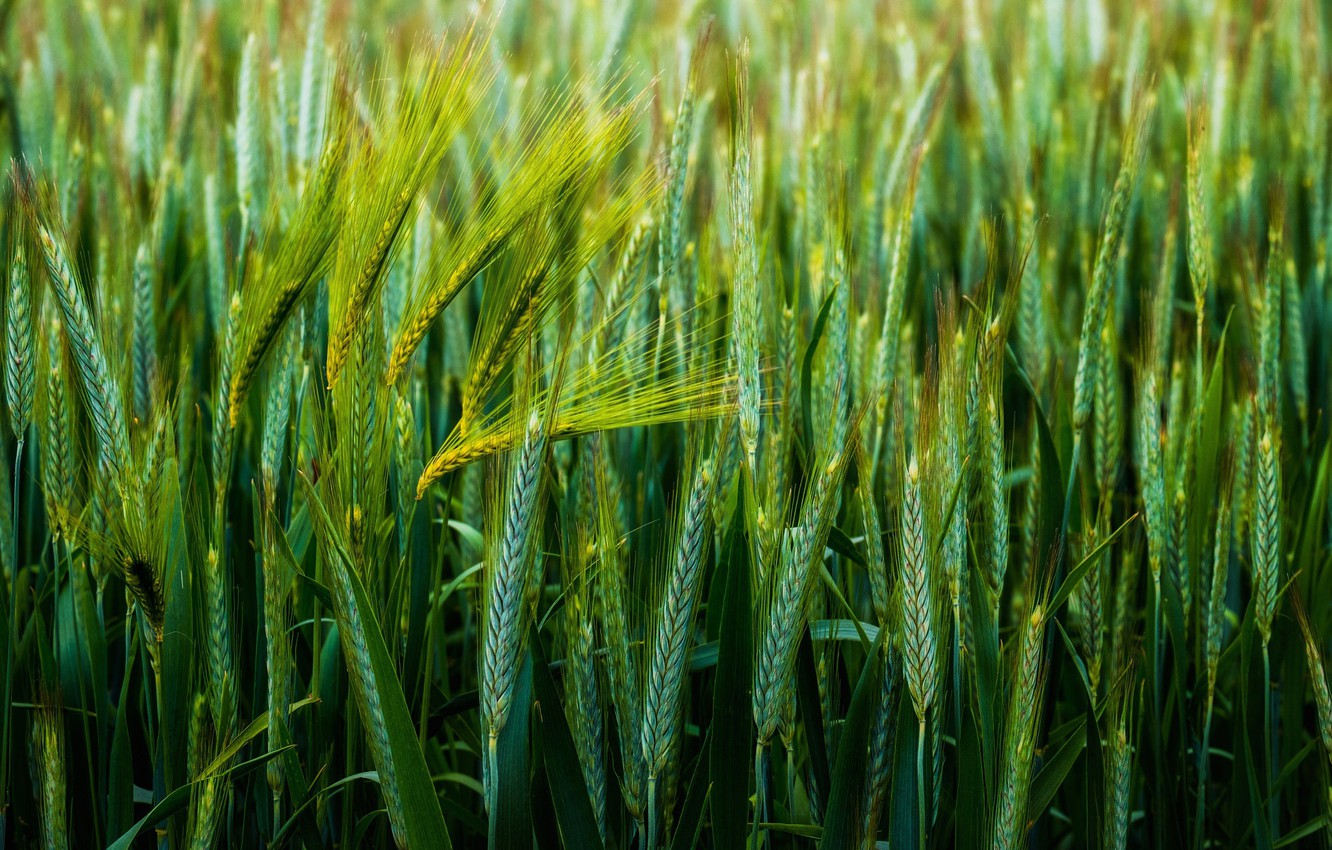 Photo wallpaper wheat, macro, spikelets, green background