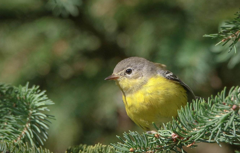 Photo wallpaper Nature, Bird, Branches, Spruce