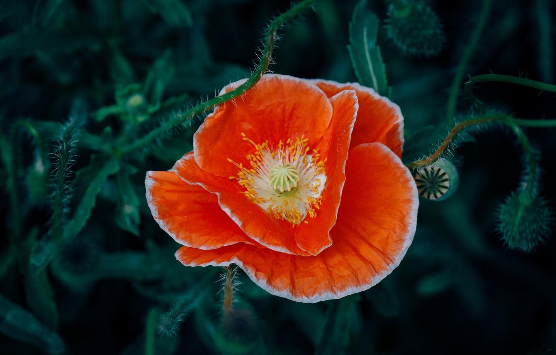Photo wallpaper flower, orange, Mac, red petals