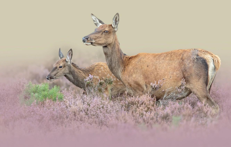 Photo wallpaper animals, nature, pair, deer