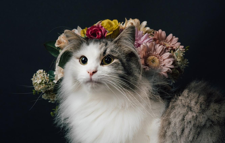 Photo wallpaper cat, look, flowers, background, portrait, fluffy, Norwegian forest cat