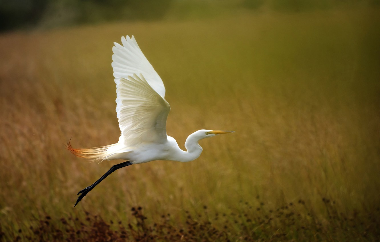 Photo wallpaper background, wings, the rise, Heron, white egret