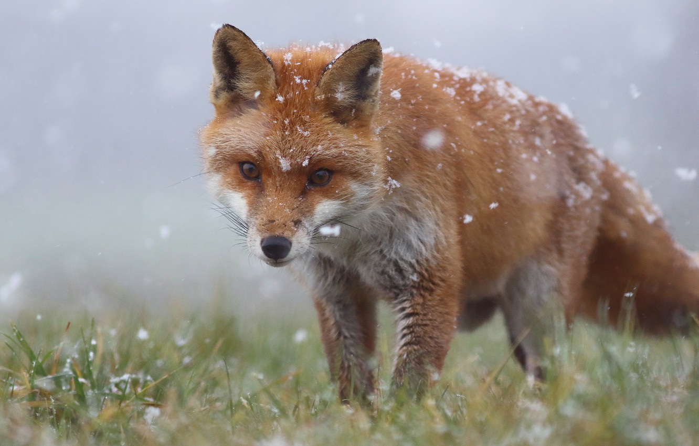 Photo wallpaper winter, grass, face, snow, Fox, red, snowfall, wildlife, Fox